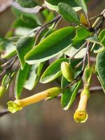 Baumtabak (Nicotiana glauca) 500 Samen, seltene Sorte