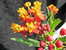 100 SUNSET / BLOOD FLOWER Scarlet Milkweed - Asclepias