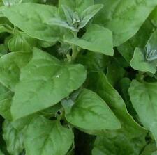 20 pcs New Zealand Spinach Tetragonia tetragonoides vegetable seeds