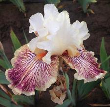 Tall Bearded Iris INSANIAC White & dark Red Rhizome perennial plant