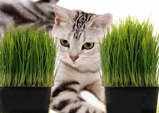 CAT GRASS  BULK QUANTITY 10 GRAMS ( approx 15,000 seeds ) CATS rabbit CHICKENS
