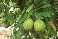 Riesen Früchte für Musikinstrumente geeignet der Kalebassenbaum !