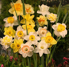 Mixed Daffodils (50 Bulbs) - Assorted Colors Daffodil Narcissus Bulbs