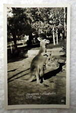 Rppc Postcard Kangaroo With Young Joey Baby Australia #7G