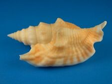 Strombus hawaiiensis, Rare, Excellent Pattern, 67.2mm, Hawaii Shell