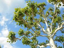 American Sycamore. Tree    100 + Seeds From Indiana. 2017