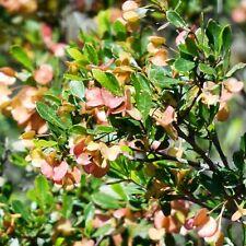 DODONAEA ceratocarpa Horny Hop-bush Seeds (E 85)