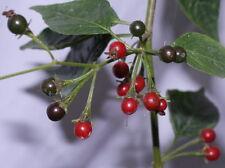 CAPSICUM EXIMIUM pure seeds, rare wild chili