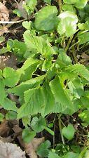 Giersch 10 Pflanzen Bio Wildgemüse Heilkräuter aus Naturgarten