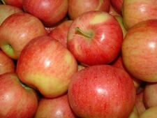 Apple Seeds - ROYAL GALA - Popular Variety -Easy to Grow Your Own Tree- 10 Seeds