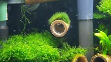 Moss ball on bamboo tube with suction cup on the end for shrimp and crayfish