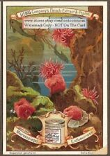 Sea Anemone Erdbeerrose Actiniec1899 Trade Ad Card