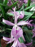 Rare orchid species seedling - Brassocattleya Maikai