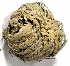 Rose of Jericho flower Resurrection flower wiccan pagan witch herb magick ritual