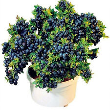 50 Pcs Blueberry Tree Seeds Sweet Fruit Potted Bonsai Fruits Garden Plants Decor