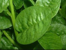 "Ceylon Spinach ""Green Stem""( 20 Seeds) Malabar Spinach"
