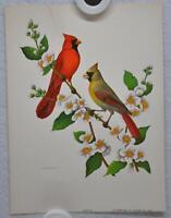 Cardinal on Mockorange Rudolf Freund Birds Lithograph Art Print 6 x 8
