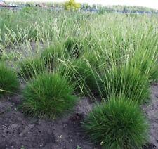 Festuca gautieri / Bearskin Fescue, Spiky Fescue / Ornamental Grass