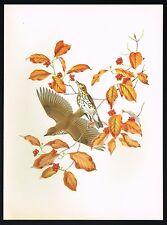 1950s Original Vintage Wood Thrush Thrushes Bird Art Print