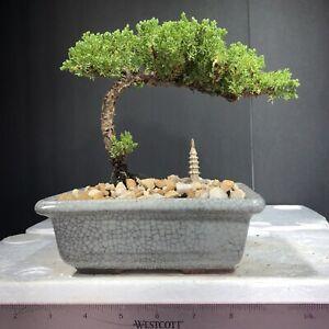 Japanese Juniper, traditional bonsai, 5years old