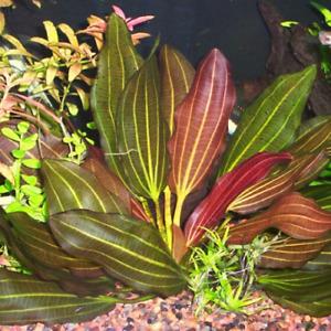 -BUY 2 GET 1 FREE- Red Melon Sword Echinodorus Planted Aquarium Plant Amazon