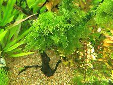 Aquatic Plant Christmas Moss Rare Beautiful and Hardy