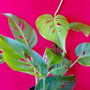 Monstera Adansonii Var LANIATA ** hardy aroid indoor houseplant ** totem shade