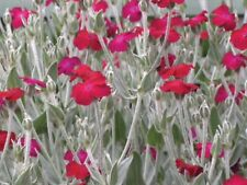 Perennial Lychnis White & Red In Our Shop Mix Any 3 Perennials £10 1 Lt POTS
