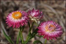 GARTEN STROHBLUME 1.000 Samen Helichrysum Bracteatum mehrfarbig