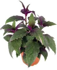 "Gynura Sarmentosa Purple Passion Live Plant 4"" Pot Erotic Houseplant Indoors"
