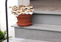 Italienische Zimmerpflanze Pioppino wächst ohne Licht an dunklen Standorten Deko