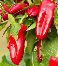 Rare Lipstick Chilli - A Sweet, Juicy & Thick-fleshed Rich-flavoured Chilli