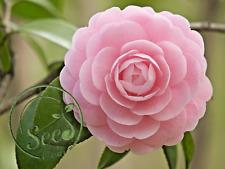 Pink Camellia Flowers Seeds Plants Garden Rare Bonsai Rainbow Tree 100 Pcs
