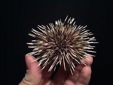 Taxidermie Cabinet de curiosités Urchin / Oursin commun de Mediterranée!