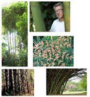 5 mal Bambus: 5 tolle Bambus Sorten im Samen-Spar-Set ! Super-günstig !