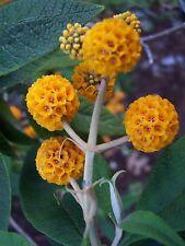 8 graines de BUDDLEIA GLOBULEUX (Buddleja Globosa)H230 ORANGE BALL TREE SEEDS