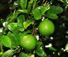 "Dwarf Key Lime Tree One 8-15"" Tree Fragrant Produces Full Size Fruit"