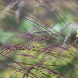 FESTUCA  AMETHYSTINA  AMETHYST FESCUE HARDY GARDEN CONTAINER DWARF PLANT