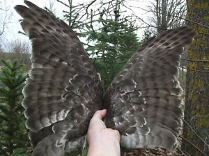 GOSHAWK  FEATHERS BIRD TAXIDERMY pre 1944