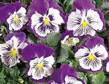 Stiefmütterchen Viola Cats violett-weiß zweijährig 15 cm Samen