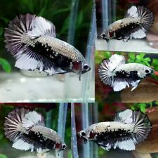 Copper Dragon Halfmoon Plakat Male - IMPORT LIVE BETTA FISH FROM THAILAND