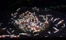 "10+1 SS+ CRS Crystal Red Shrimp - Hinomaru USA-Bred 1/2"" Juveniles Great Color!"