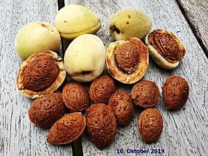 frische Bittermandel Samen, Prunus dulcis var. amara, Amygdalin,Ernte Sept. 2019
