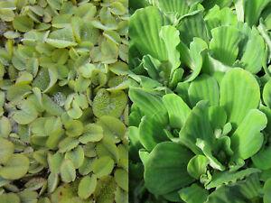 SCHWIMMPFLANZEN SET XXL – Muschelblume – Schwimmfarn - Anti Algen - Teichpflanze