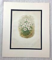 1877 Antico Botanico Stampa Alpine Phlox Fiore Piante Verde Bianco 19th Secolo
