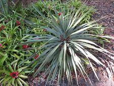 25 BLUE DRACAENA SPIKES Cordyline Indivisa Flower Seeds + Gift & Comb S/H