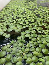 Special Plant Sampler (Rrf, Frogbit, Wisteria And Guppy Grass)