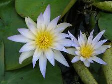 Nymphaea caerulea Blue Tropical Water Lily Seeds