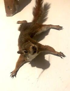 Vibrant Taxidermy Red Squirrel Mount W/ Real Teeth Life-size Possum Fox Chipmunk