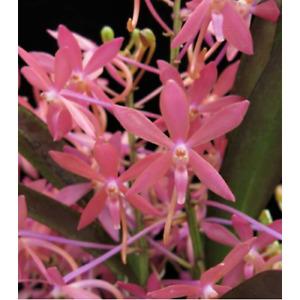 Orchid Vanda(Neofinetia falcata) Cherry Blossom x Vanda (Neofinetia) 'Samuri '